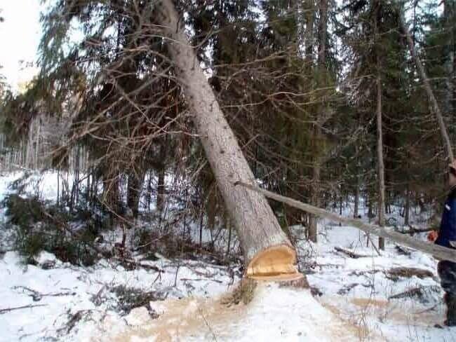 Валка деревьев